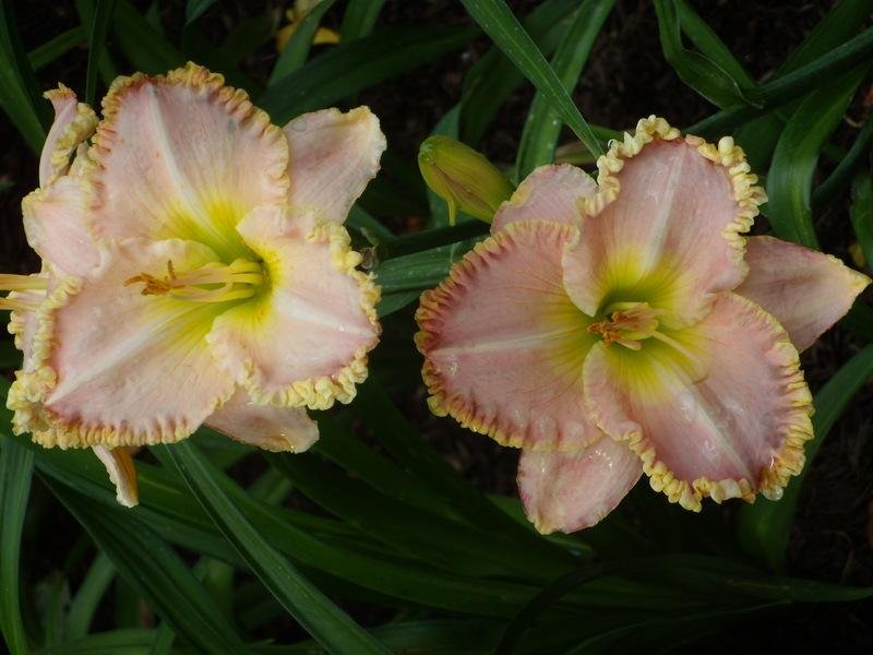 Hemerocallis-Princess-Diana-3