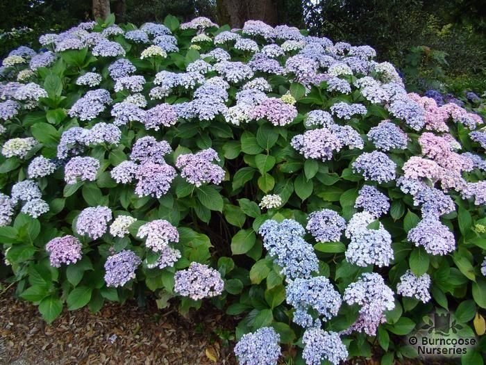 Hydrangea-macrophylla-Ayesha-3