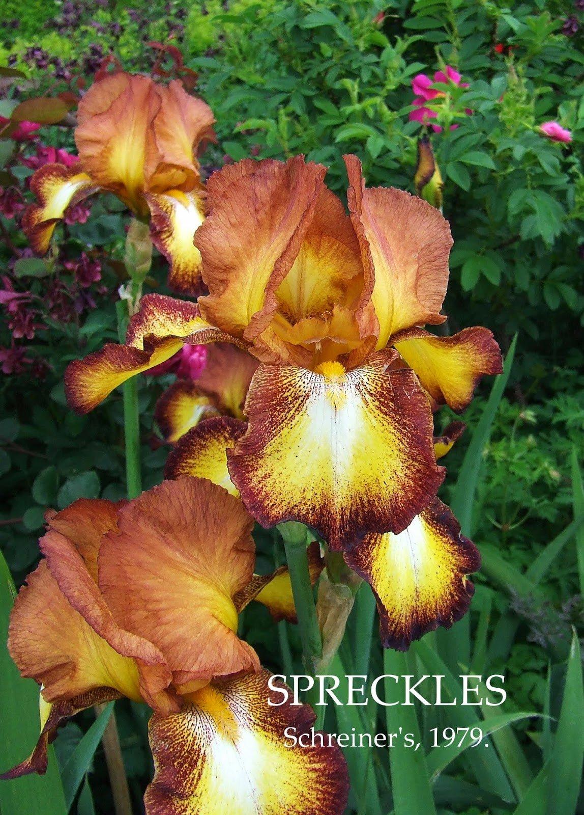 Iris-Spreckles-2