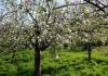 Фруктовый сад весной