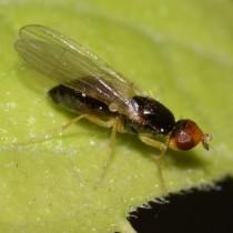 Морковная муха (Psila rosae)