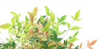 Нандина домашняя (Nandina domestica)