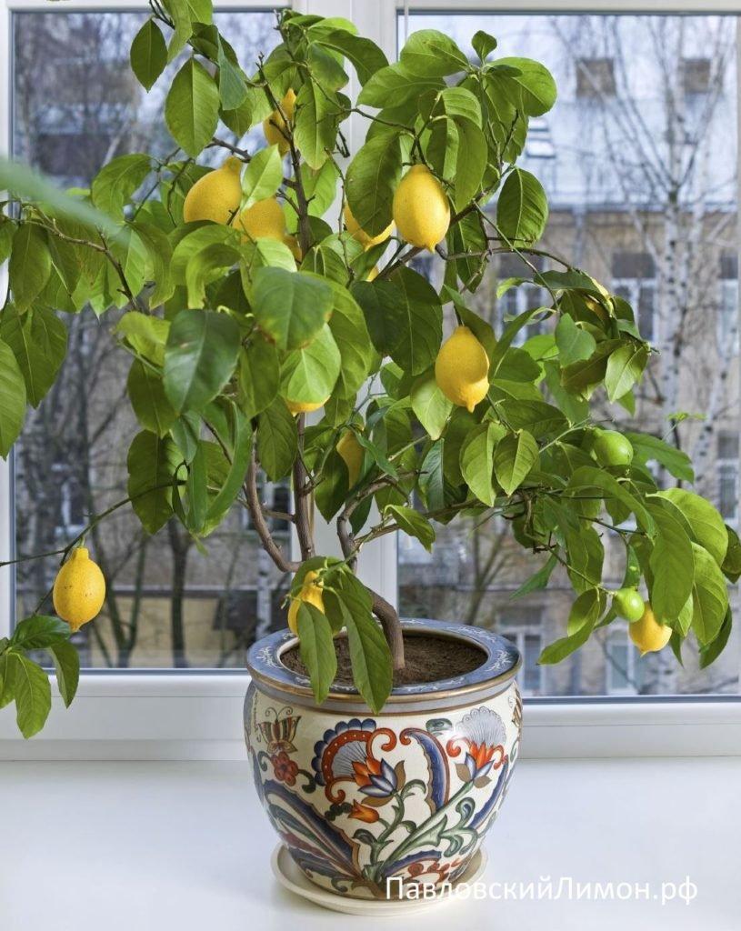 Pavlovskiy-limon