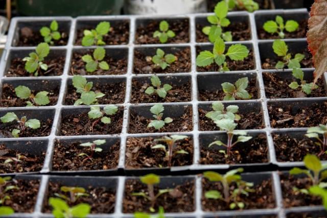 Выращивание рассады вербены из семян