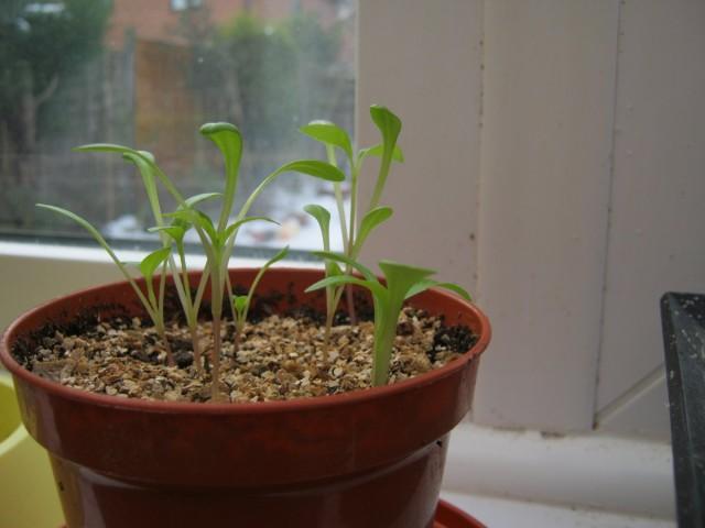 Выращивание рассады однолетних георгин из семян