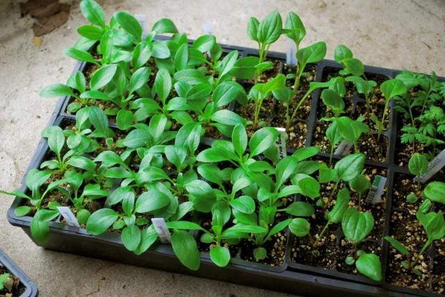 Выращивание рассады эхинацеи из семян