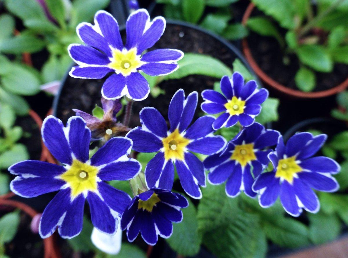 Primula-Blue-Lace-Mary-1