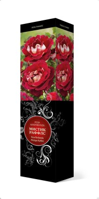 Роза «Мистик Раффлс» (Rosa 'Mystique Ruffles')