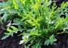Руккола, или Гусеничник посевной, или Индау посевной, или Эрука посевная (Eruca vesicaria, syn. Eruca sativa)