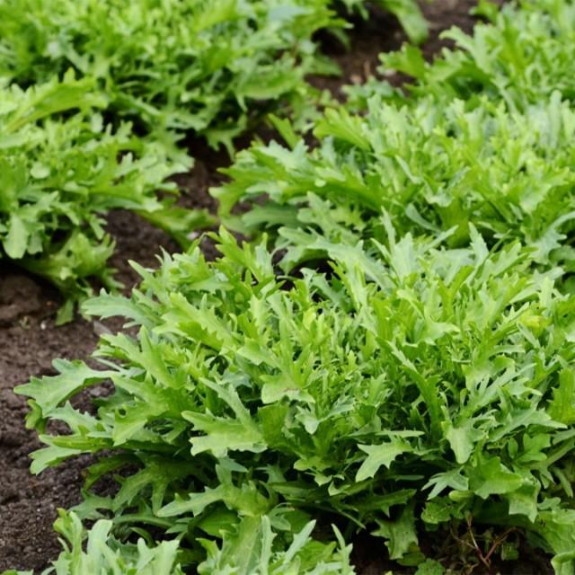 Руккола садовая, или Эрука посевная (Eruca vesicaria)