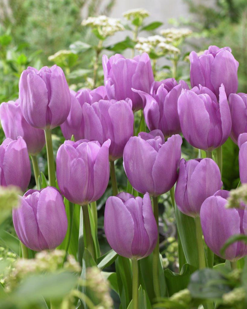 Tulipa-Alibi-1