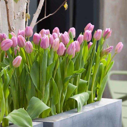 Tulipa-Alibi-2