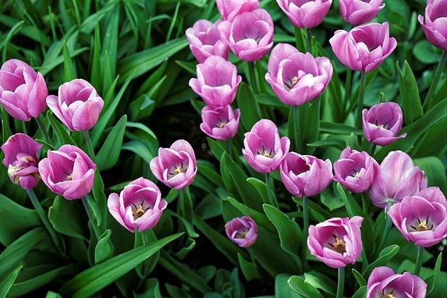 Tulipa-Alibi-3