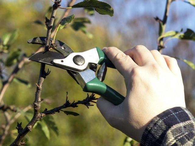 Формирующая обрезка вишни