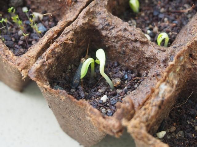 Проращивание семян георгин