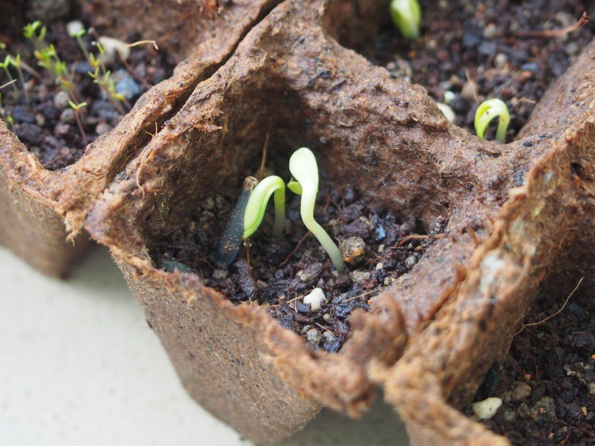 Георгины из семян. Выращивание однолетних георгин из семян