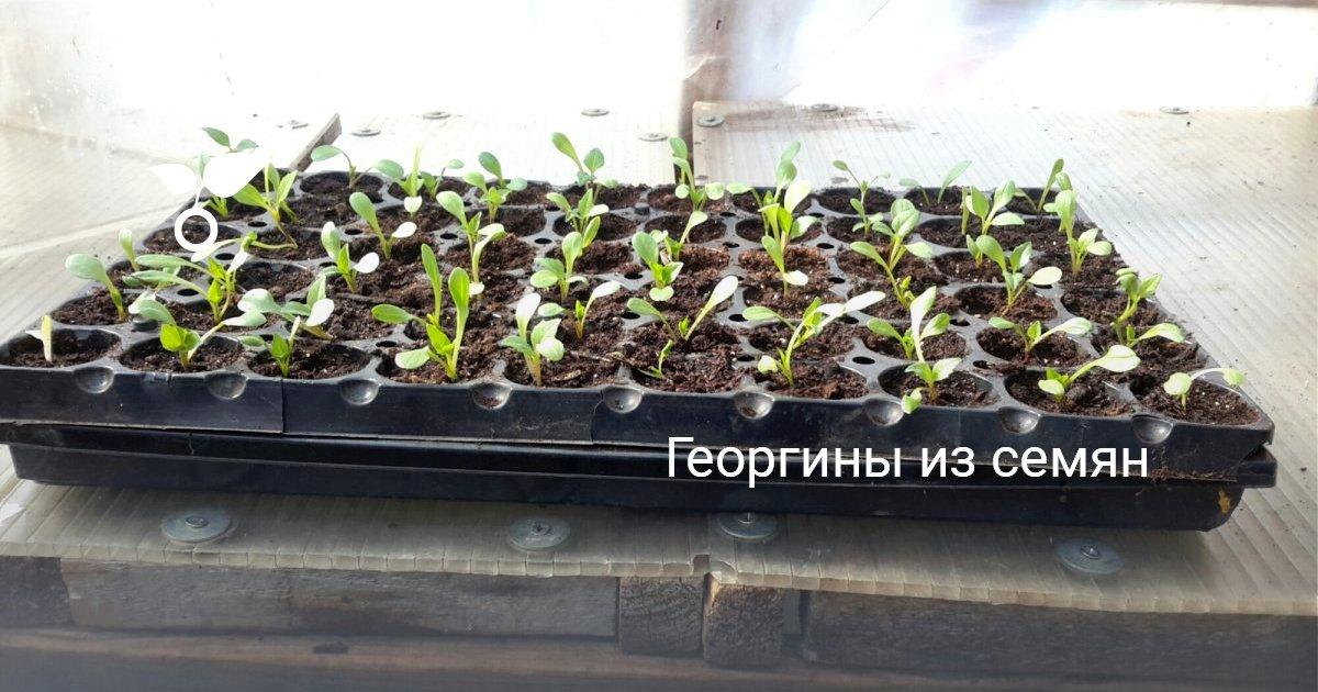 Когда сажать георгины основные характеристики растения