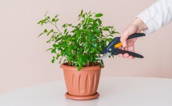 Обрезка комнатных растений