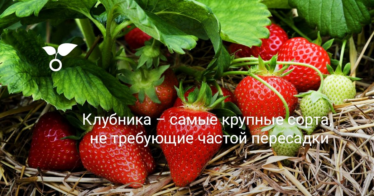 Клубника Гигантелла крупноплодный и высокоурожайный сорт клубники