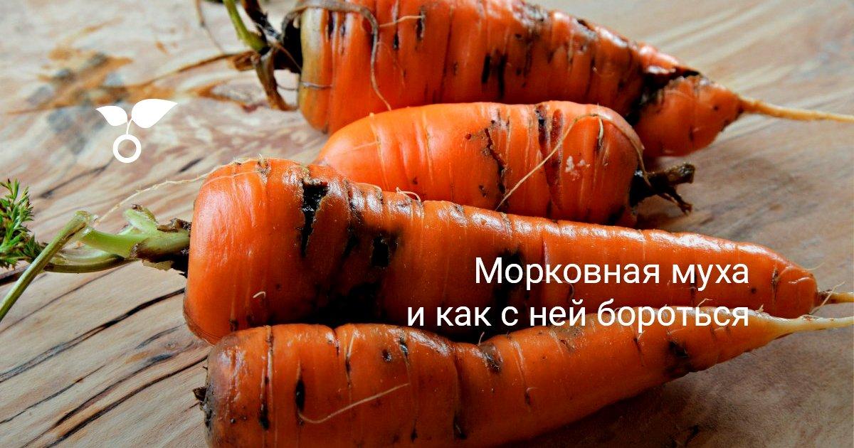 Самые эффективные методы борьбы с морковной мухой