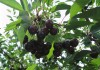 Плоды вишни сорта Шоколадница