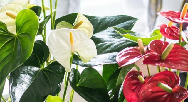 Антуриумы (Anthurium)