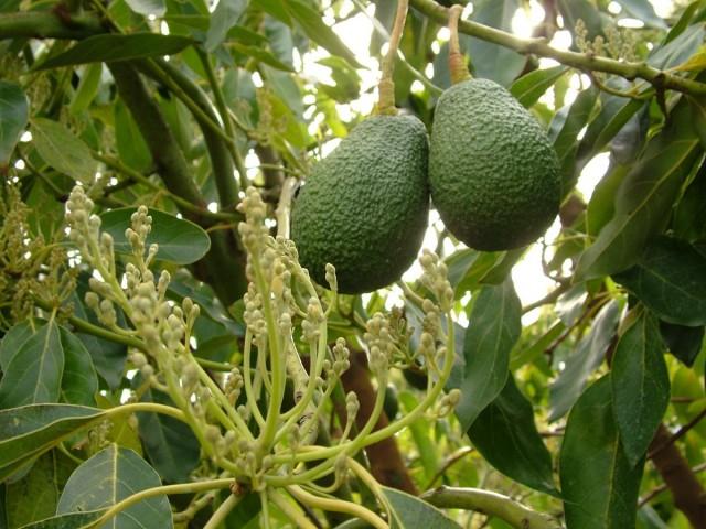 Соцветия и плоды авокадо на ветке дерева персея американская (Persea americana)