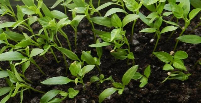 Загущенная посадка способствует развитию чёрной ножки на рассаде