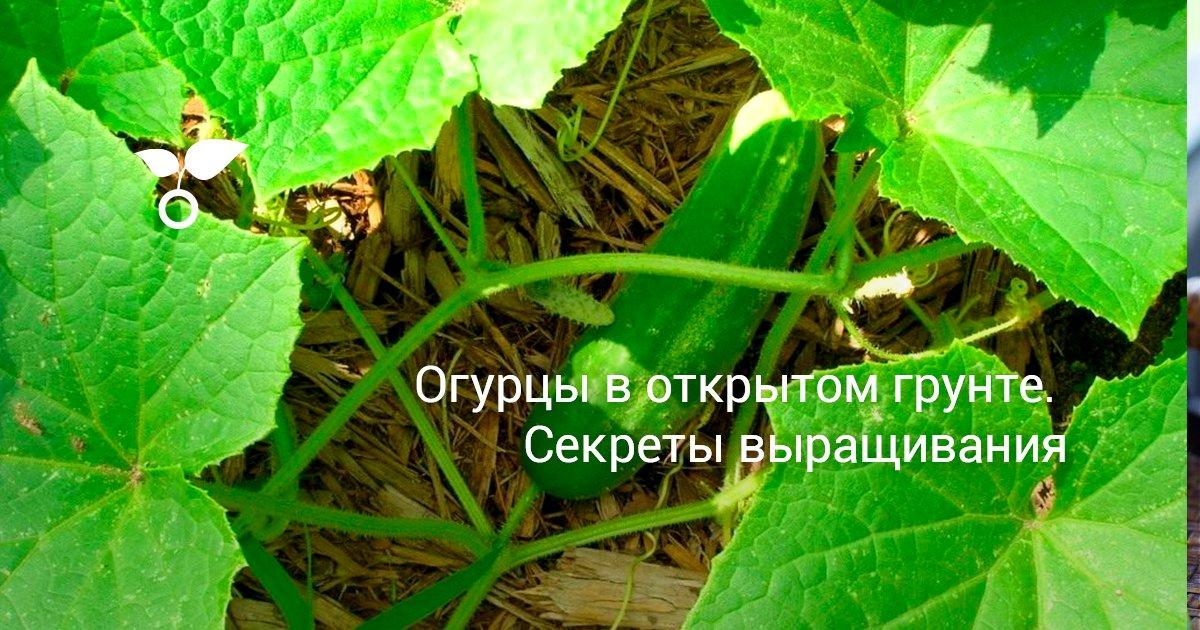 Как посадить и вырастить огурцы Букет
