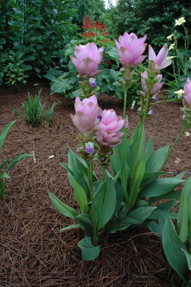 Растение куркума (Curcuma)