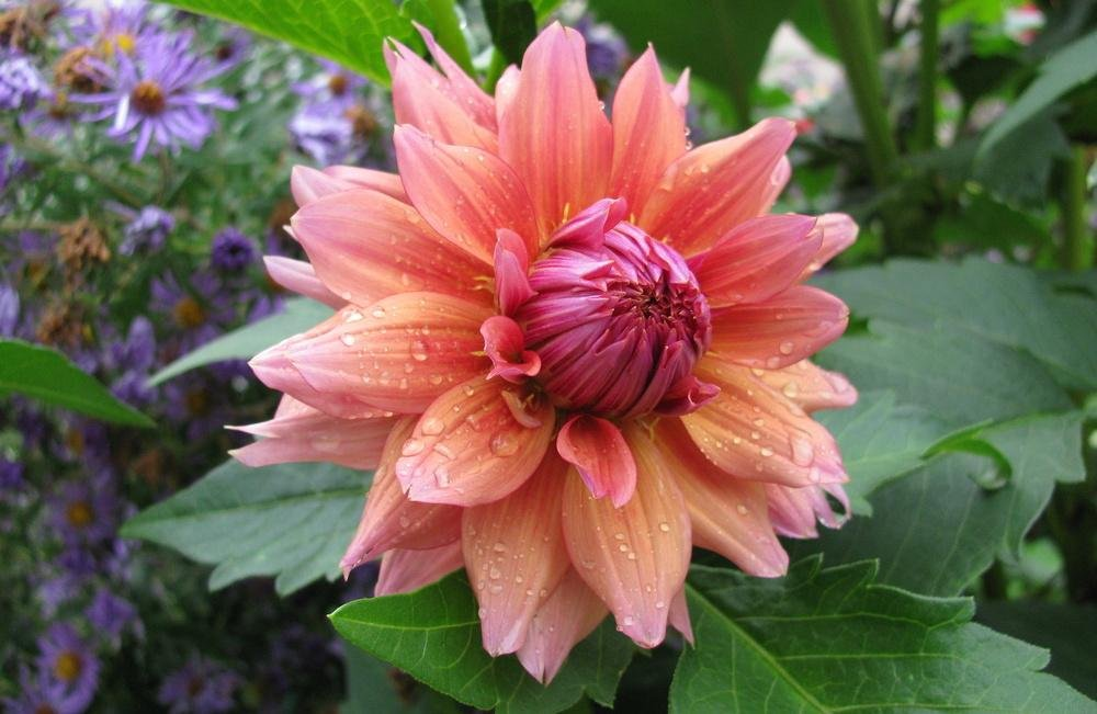 Dahlia-Sonic-Bloom-1