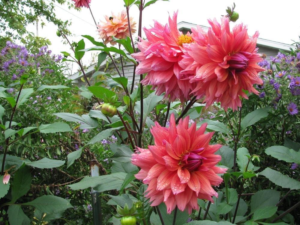Dahlia-Sonic-Bloom-2