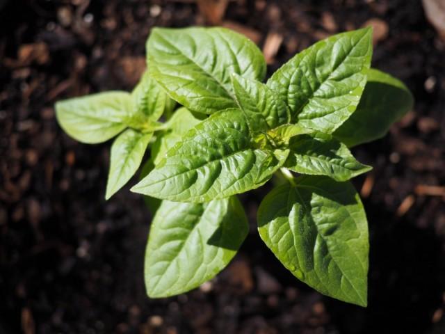 Выращивание рассады декоративного подсолнечника