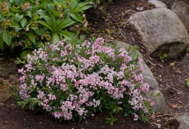 Дейция розовая низкорослая «Юки Черри Блоссом» (Deutzia 'Yuki Cherry Blossom®')