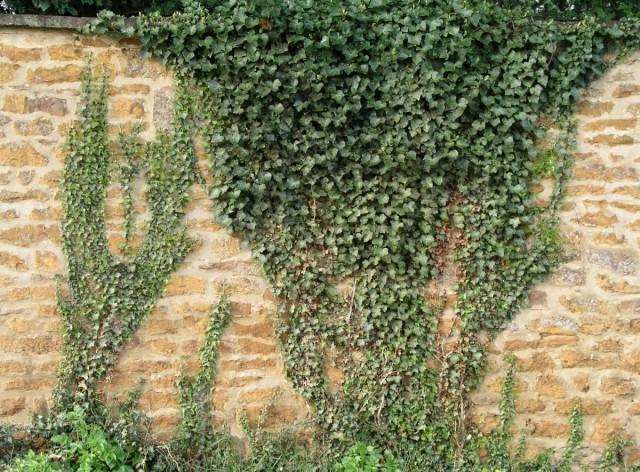 Плющ обыкновенный на кирпичной стене