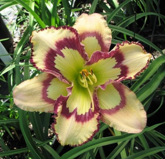 Hemerocallis-Violet-Stained-Glass-1