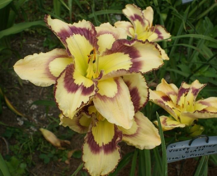 Hemerocallis-Violet-Stained-Glass-2