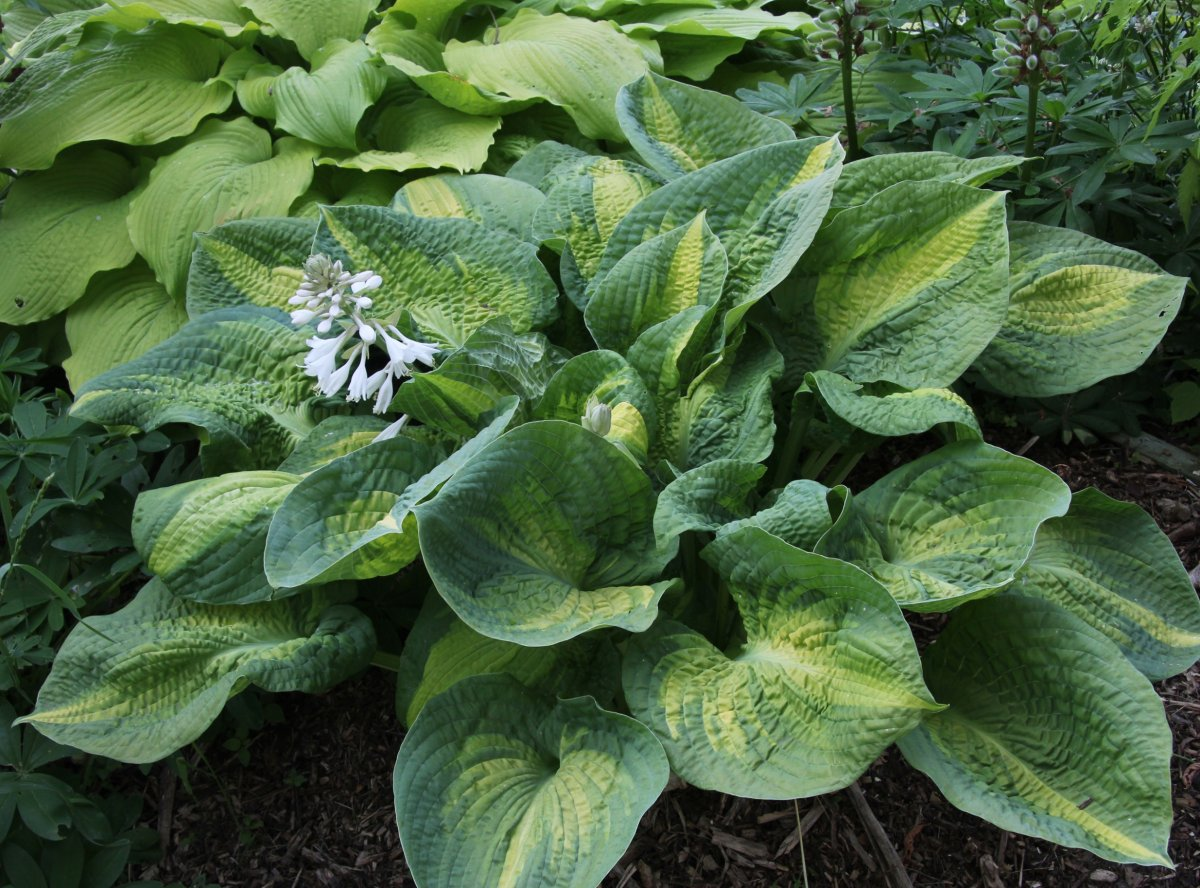 Hosta-Brother-Stefan-2