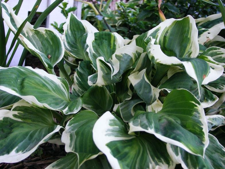 Hosta-Fair-Maiden-2