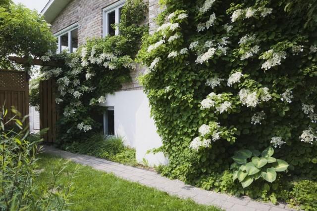 Гортензия черешковая (Hydrangea petiolaris) на стене дома