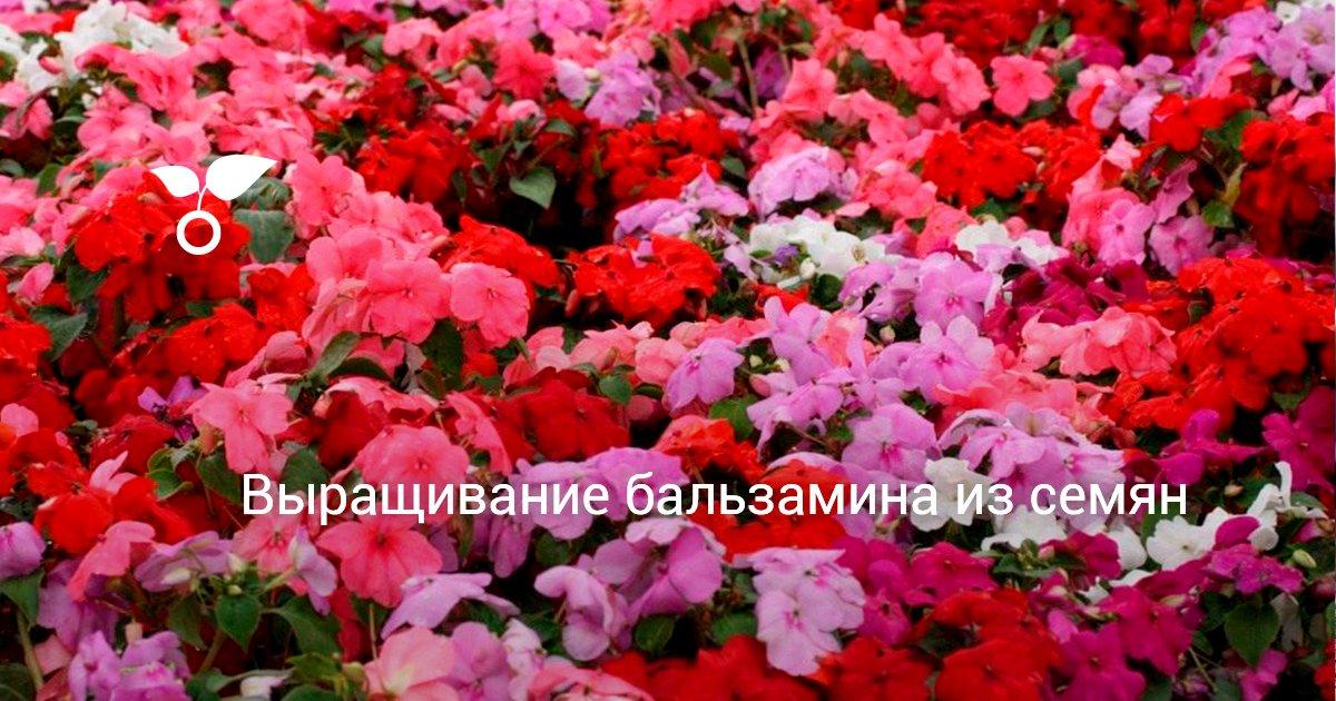 Бальзамин садовый посадка и уход — выращивание из семян травянистых растений для открытого грунта (с фото)