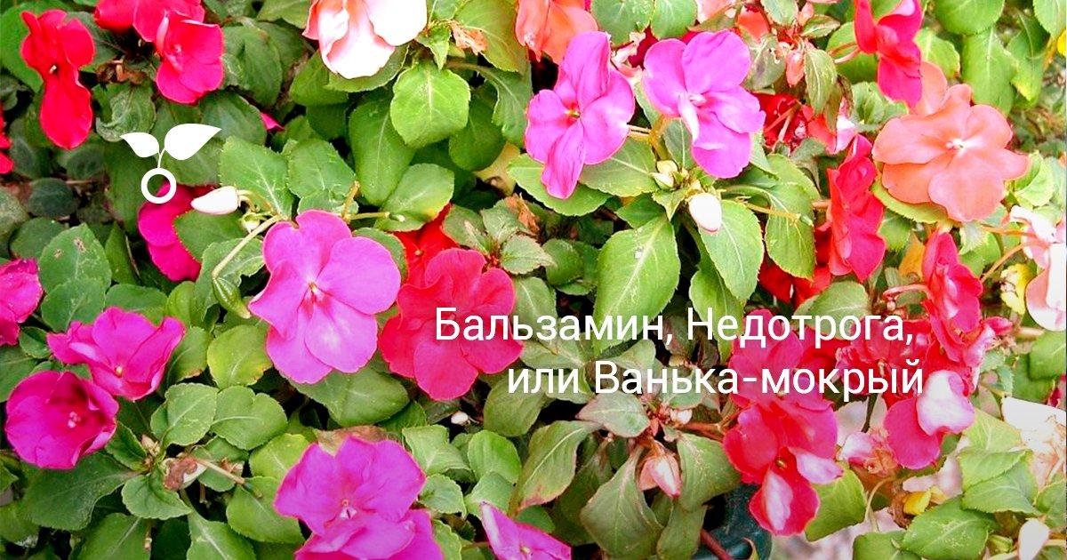 Цветок бальзамин или ванька мокрый
