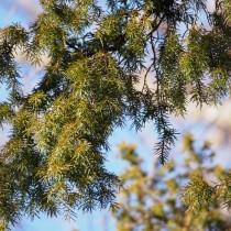 Можжевельник твердый (Juniperus rigida)