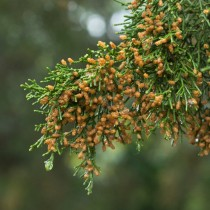 Можжевельник виргинский (Juniperus virginiana)