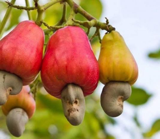 Плодоножка, разросшаяся в виде груши (так называемое яблоко-кажу). Снизу настоящий плод — орех кешью