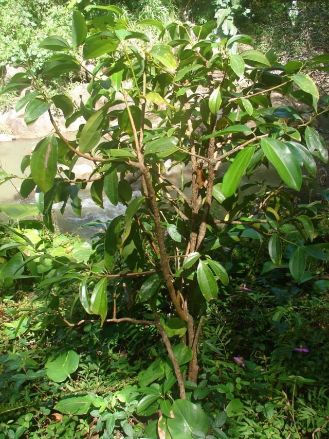 Молодое коричное деревце