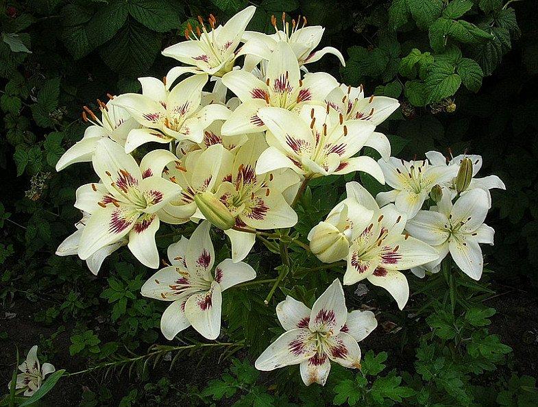 Lilium-Asiatic-Centerfold-2