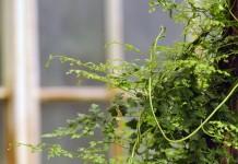 Лигодиум японский (Lygodium japonicum)