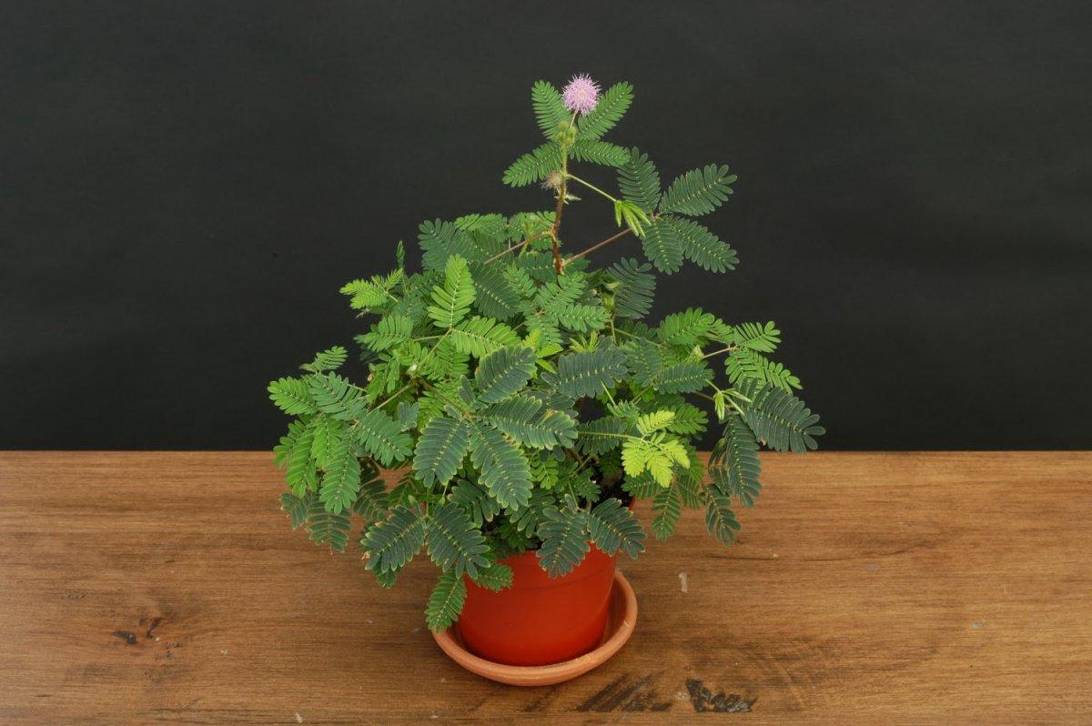 Цветок «мимоза или Акация серебристая. Описание 95