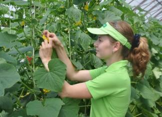Работы по селекции в агрохолдинге «ПОИСК»